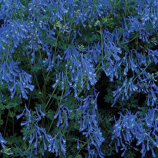 Corydalis flexuosa 'Blue Panda' - Fine Gardening Plant Guide
