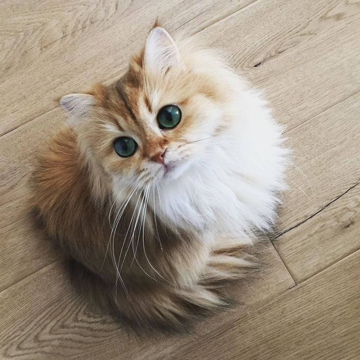 Httpsipinimgcomxecceccffdd - 25 of the fluffiest cats ever