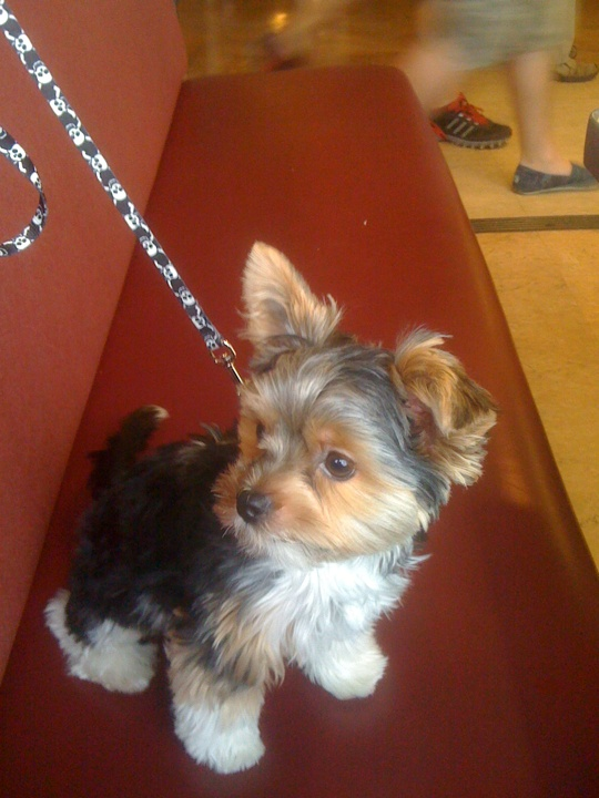 wahh i want a yorkie puppy <3