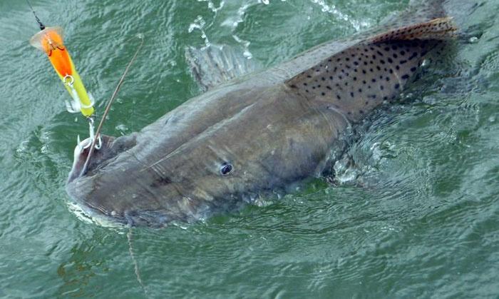 Pesca del Surubi, corrientes. Argentina