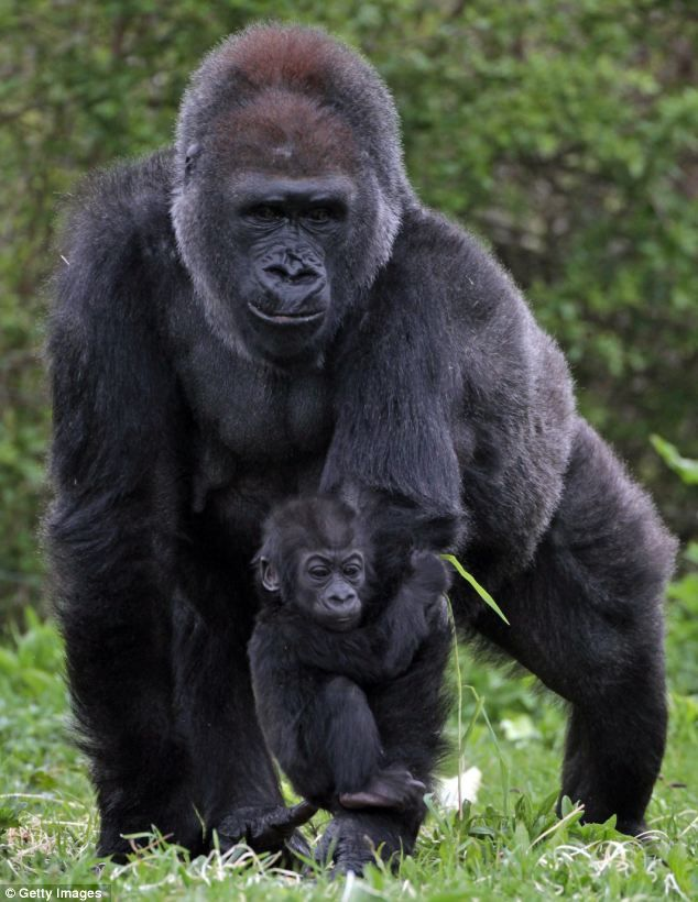 Bristol Zoo's baby gorilla Kukena holds onto his mother's arm as he ventures out of his enclosure