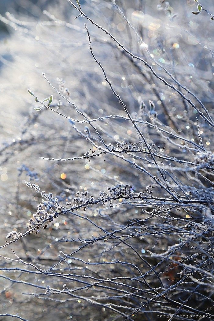 morning frost, and when it is on shrubs with white lights, SPARKLE!