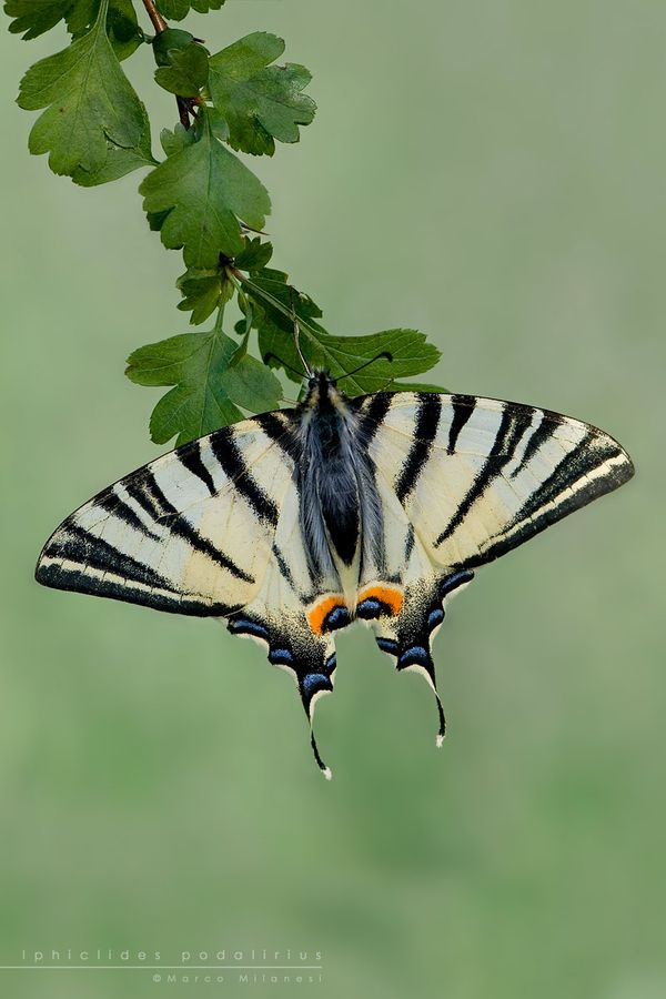 Zebra Swallowtail butterfly. Just done a drawing of one of these in Symi, Greece.. Loads fluttering around..