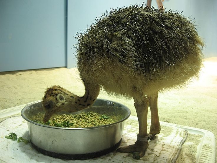 Ostrich - Gallery, Pics, Photos, Images, Pictures, Photography
