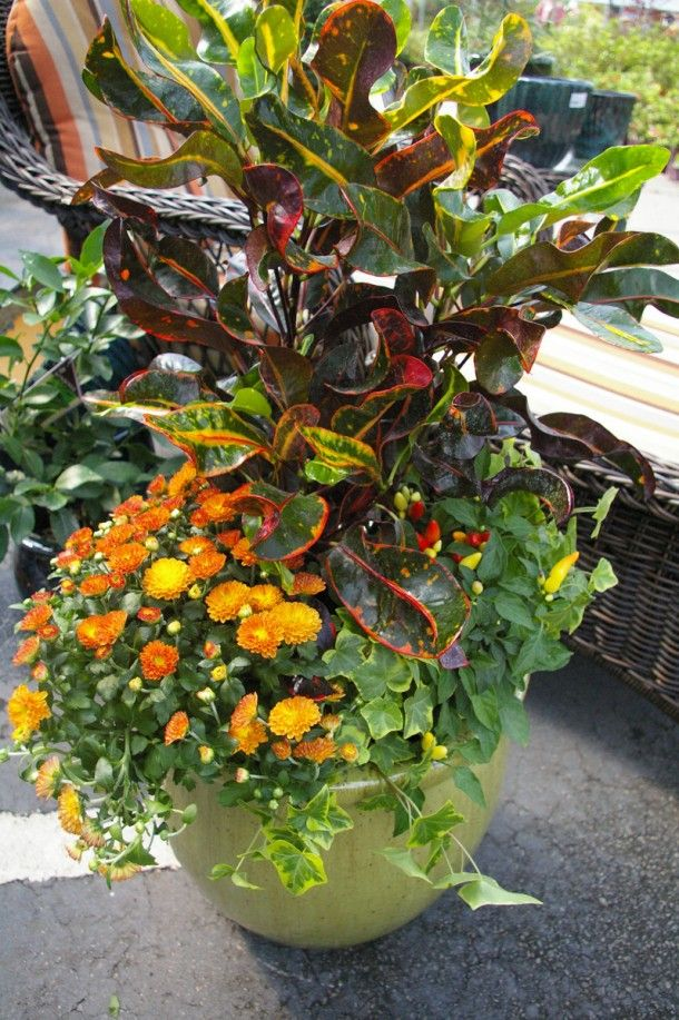 For Instant Fall Color Gratification Use Croton (typically Sold As A  Houseplant), A Mum Or Two, Ornamental Peppers And Golden Variegated Ivy.