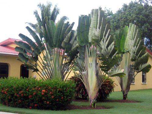 35 best images about ravenala madagascariensis on pinterest trees madagascar and botany. Black Bedroom Furniture Sets. Home Design Ideas