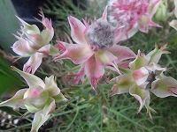 7月9日の誕生花 セルリアの花言葉「ほのかな思慕」、頬を染めた花嫁の「可憐な心」と「優れた知識」 | 弥生おばさんのガーデニングノート「花と緑の365日」 - 楽天ブログ