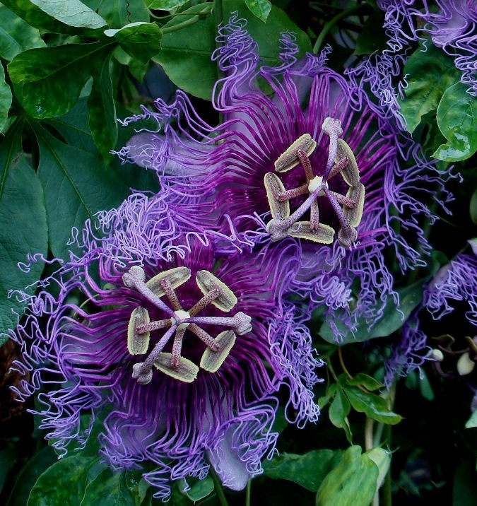 pasifloras images  pinterest
