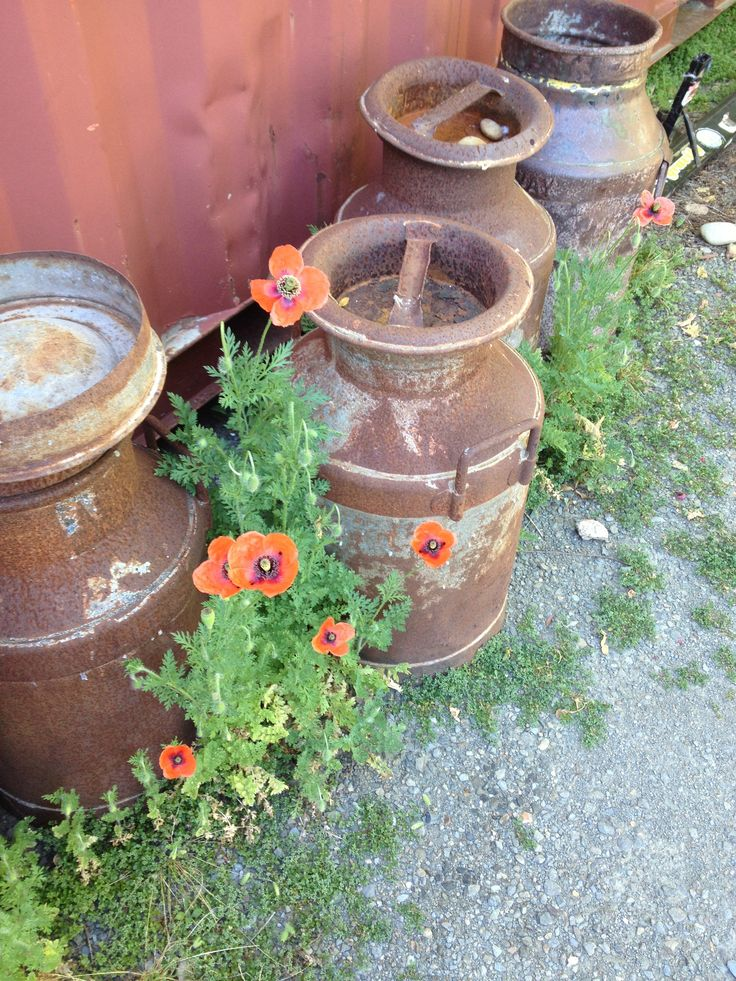 Poppy's in amongst the cream cans @ Myrtleford butter factory