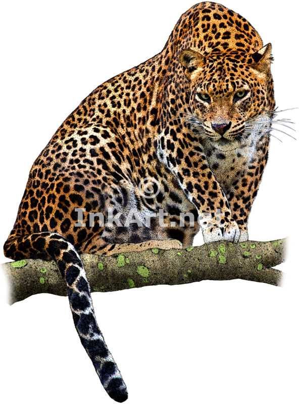 Full color illustration of a Sri Lankan Leopard (Panthera pardus kotiya)