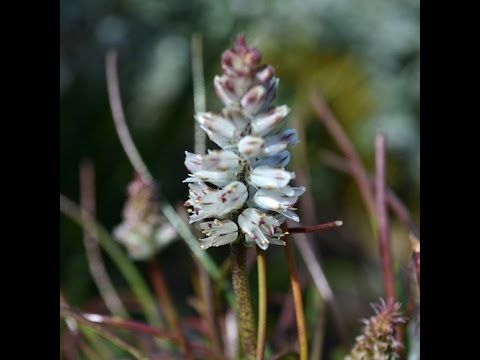 Lachenalia orthopetala - Endangered Species Propagated Into Popularity