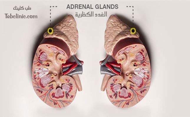 الغدة الكظرية و علاجها Adrenal Glands Glands Adrenals