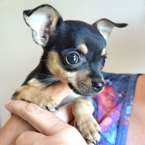 black and brown chihuahua puppies 1000 images about chihuahuas chocolate brown or black 9690