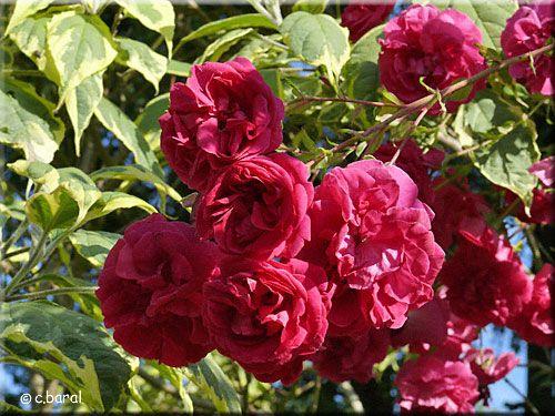 Les 25 meilleures id es concernant rosier grimpant remontant sur pinterest rosiers grimpants - Quand tailler un rosier ...