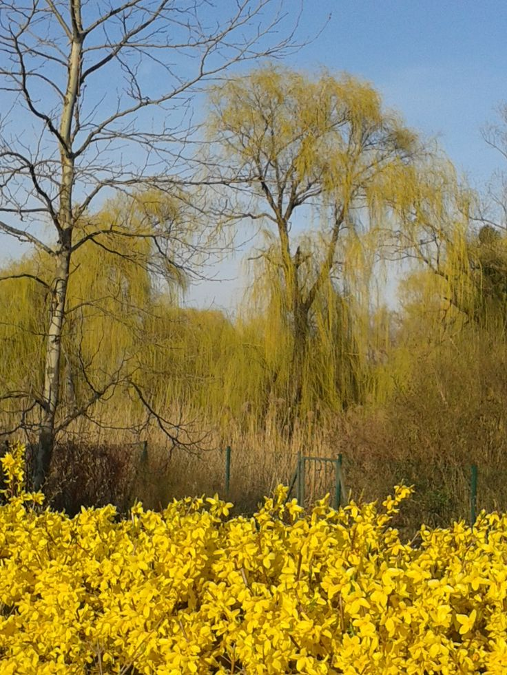blooming willow tree