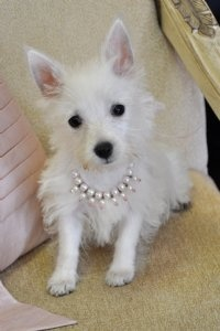 Westie puppies for sale Orlando, Tampa, Ocala and gainesville florida, westie  - Cassie's Closet