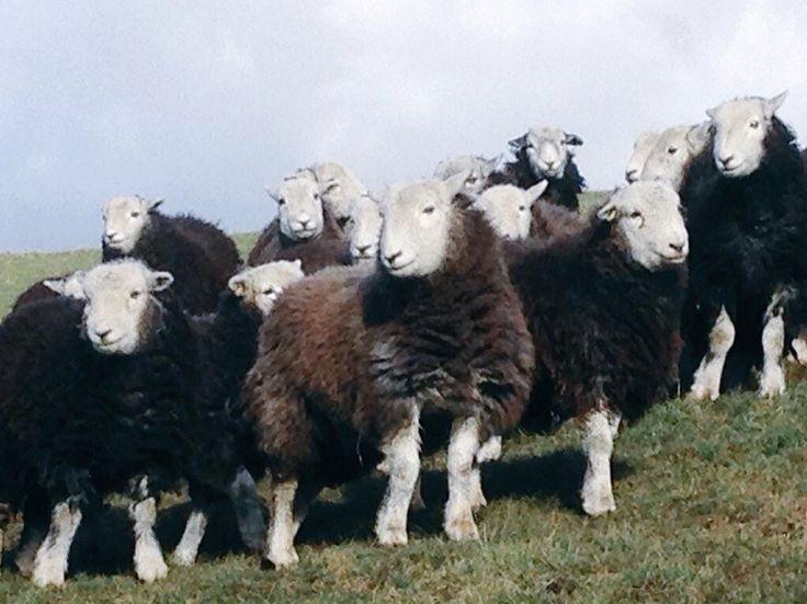 Pin by Dawn Burrell on Bah, Bah, Black Sheep | Sheep, Cow ...