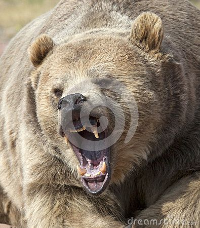 Close up image of a grizzly bear with mouth open, growling and snarling.