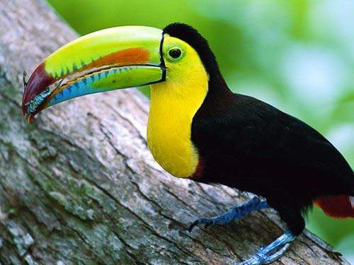 Belize Animals | Belize Flag, Coat Of Arms, National Symbols and National Anthem
