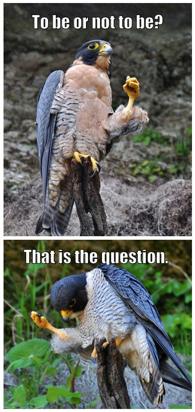 Hawklet: Laughing, Funnies Animal, Funnies Pictures, Funnies Birds, Giggl, Falcons, Humor, Things, Funnies Stuff