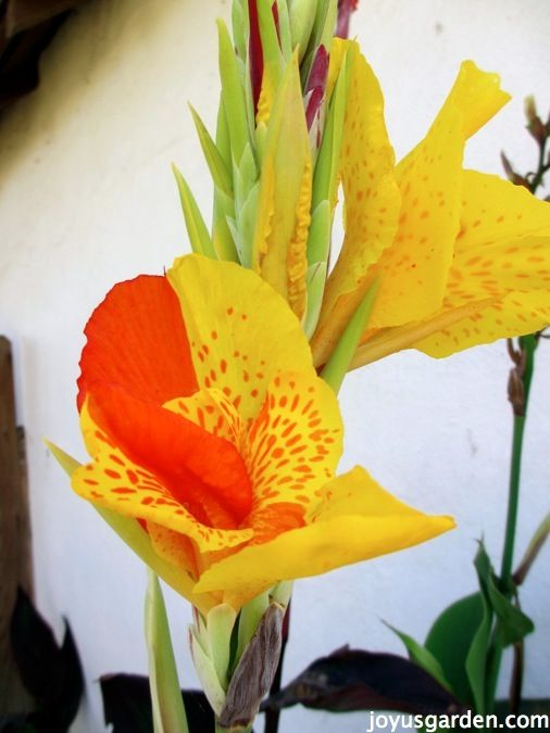 Flower Friday:  Canna Lilies