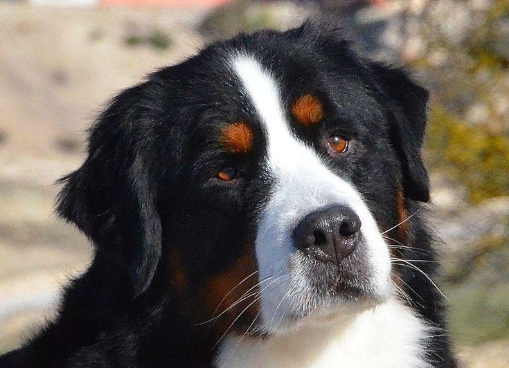 Bernese Mountain Dog DeVael