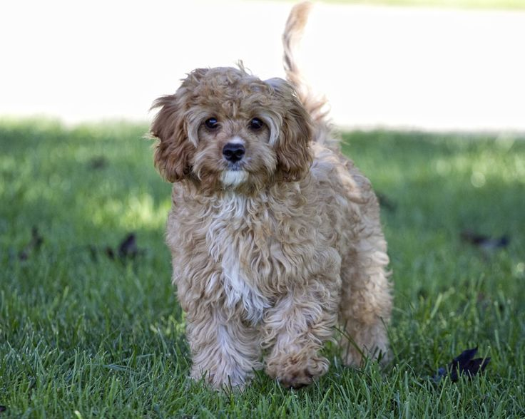 View Ad: Cavapoo Puppy for Sale near Maryland, USA