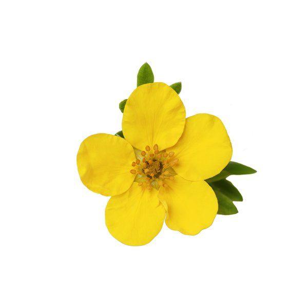 Pięciornik żółty - Potentilla fruticosa