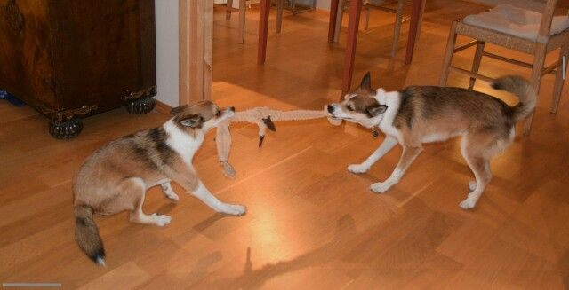 Tug of war norwegian Lundehund. Norsk Lundehund.  Frøya and Balder hoping for puppies in 2016