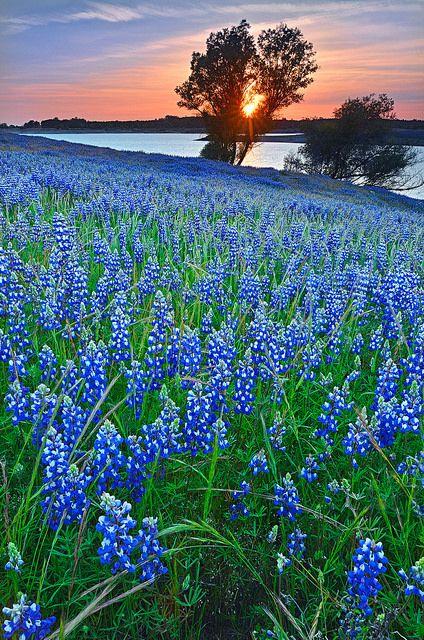 Lupine Field. Folsom Lake California