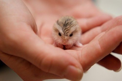 A Tiny Baby Hamster | Cute Animals | Pinterest | Baby ...