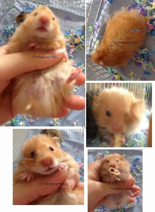 HAMSTERS FOR SALE IN SINGAPORE,BUY HAMSTER IN SINGAPORE,CUTE,BABY,SYRIAN,PEARL,ORANGE PUDDING,PETS BOARDING,PET SITTER,PET SITTING,hamster Singapore.