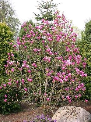 Purpur-Magnolie 'Susan' - Magnolia liliiflora 'Susan' wird nur 3m groß