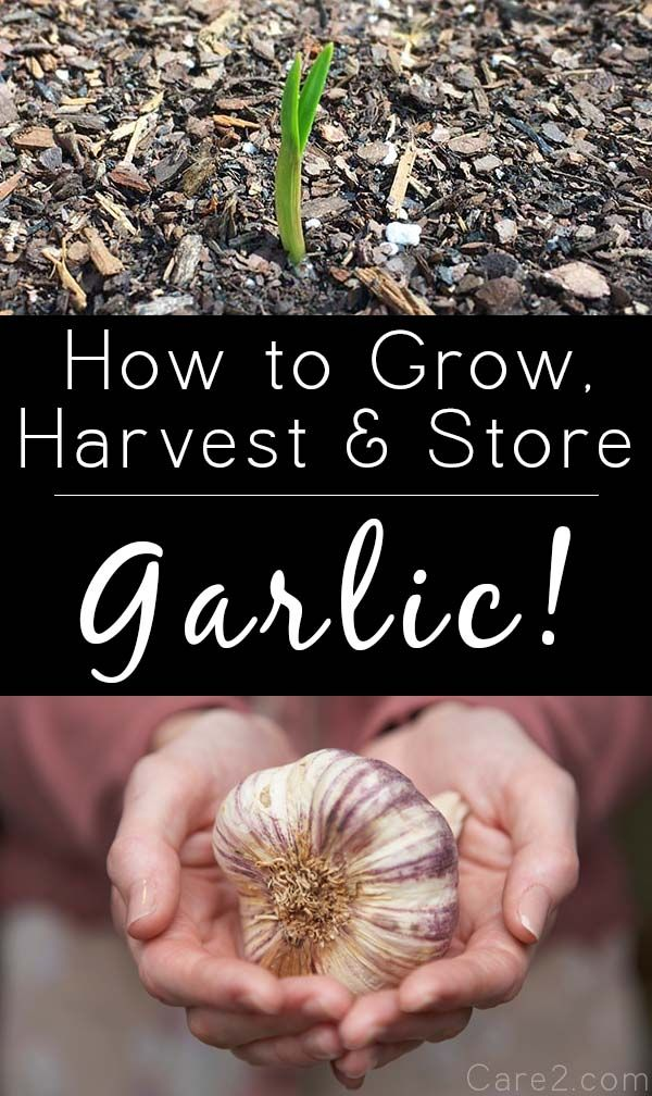 How to Grow and Harvest Garlic - http://nifyhealth.com/how-to-grow-and-harvest-garlic/