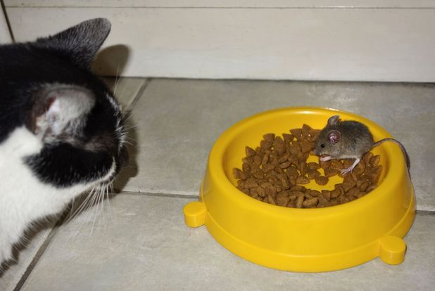 animals stealing food | Mango the cat watches the mouse eating from his bowl
