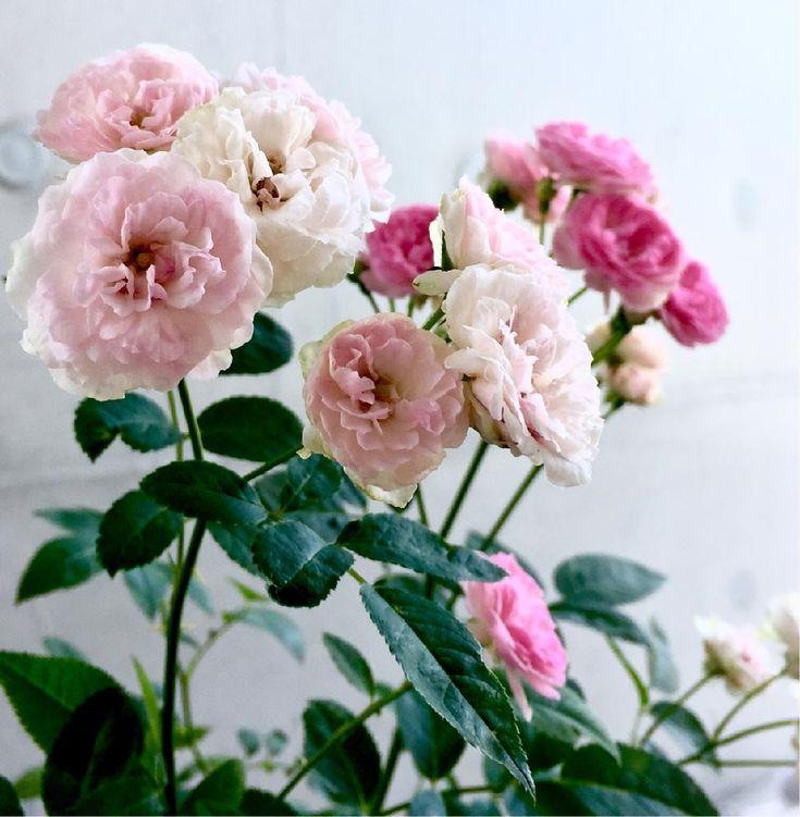 小さな庭の画像 by Je suis…さん | 小さな庭とバラとミニバラ ポリアンサ 冬梅之子 トウバイノシと愛知とamour.と豊橋とla rose と好きな色とお気に入りと勝手に自慢のバラコンテストとJe suis… ,verte.とフィルター無しの勝負!と植中毒と好き♡とTrès bien!とガーデニングと薔薇コンテストとバラ・ミニバラとバラを楽しむ