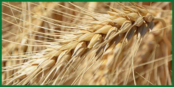 Der Herbst ist da, die Startzeit für Winterweizen. Für gute Ernteerträge stellt das Getreide einige Anforderungen an seinen Boden. Hier ein paar Tips.