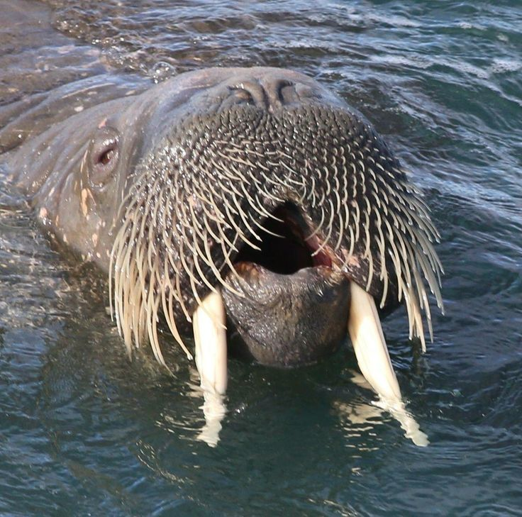 Image result for walrus
