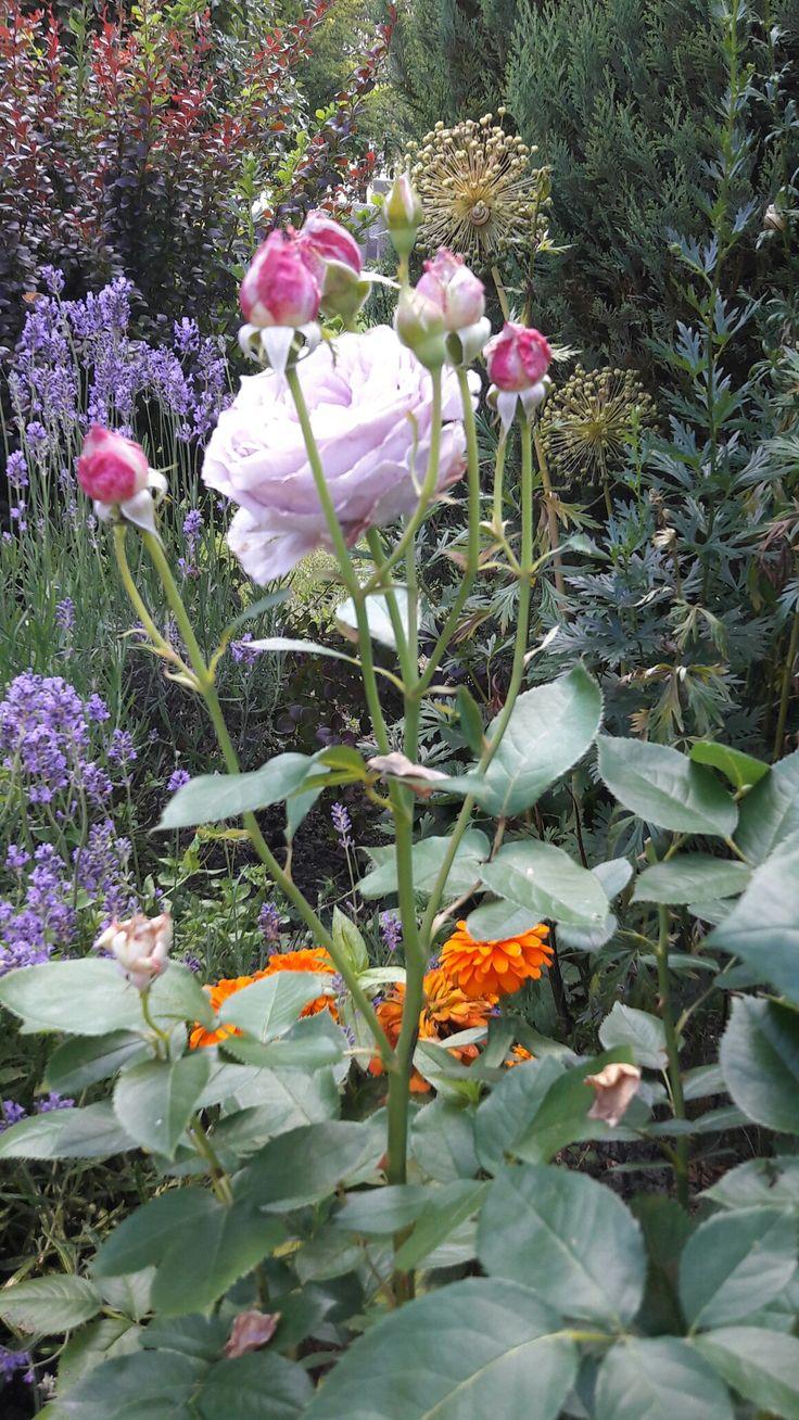Novalis róża