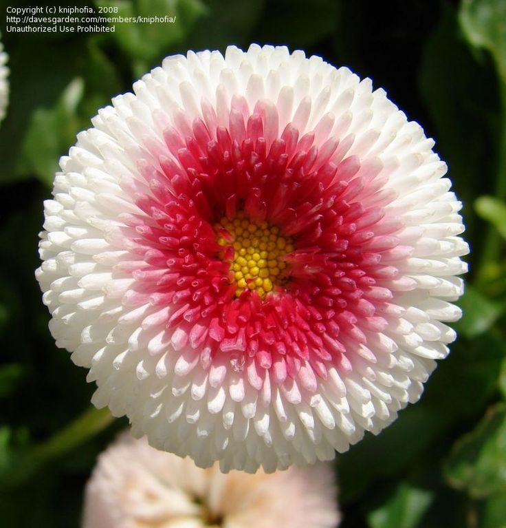 Picture of English Daisy 'Tasso Strawberries and Cream' (Bellis perennis)