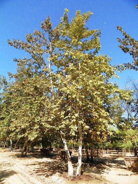 Platanus Racemosa Sycamore Trees California Native Plants Plants Tree Forest