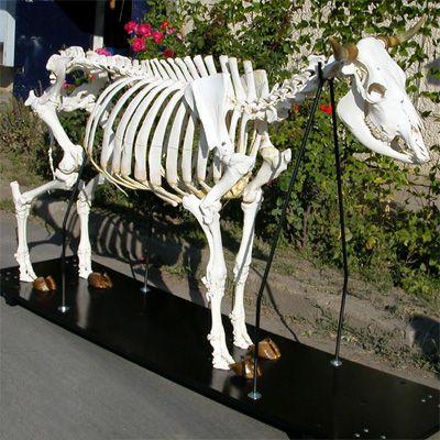 Cow Skeleton Bos Taurus