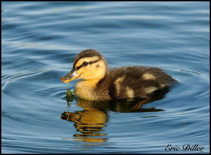 baby mallard ducks