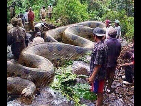 Cobras Mortíferas: Jararaca Gigante [HD] Documentário Dublado