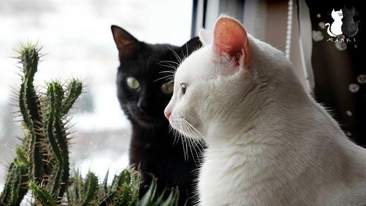 #weeklyfluff #meow #jj_justcats #catsofinstagram #mustlovecats #pussycats #purrfect #petsagram #pussycats #mustlovecats #caturdaycuties #catscorner #ilovemycat #lovemycat #funnycats #animal_magazine #koty #katzen #neko #gato #gatto #purrfect #maniek #blackcats #funnycats #cats #koty #cat