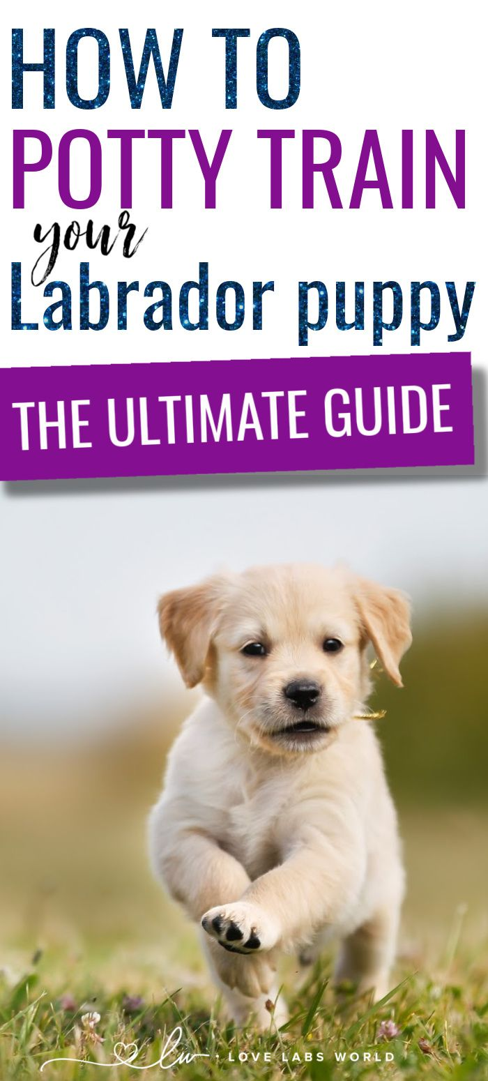 A Guide On How To Potty Train Your Labrador Puppy In 2020 Labrador Puppy Training A Lab Puppy Labrador Puppy Training