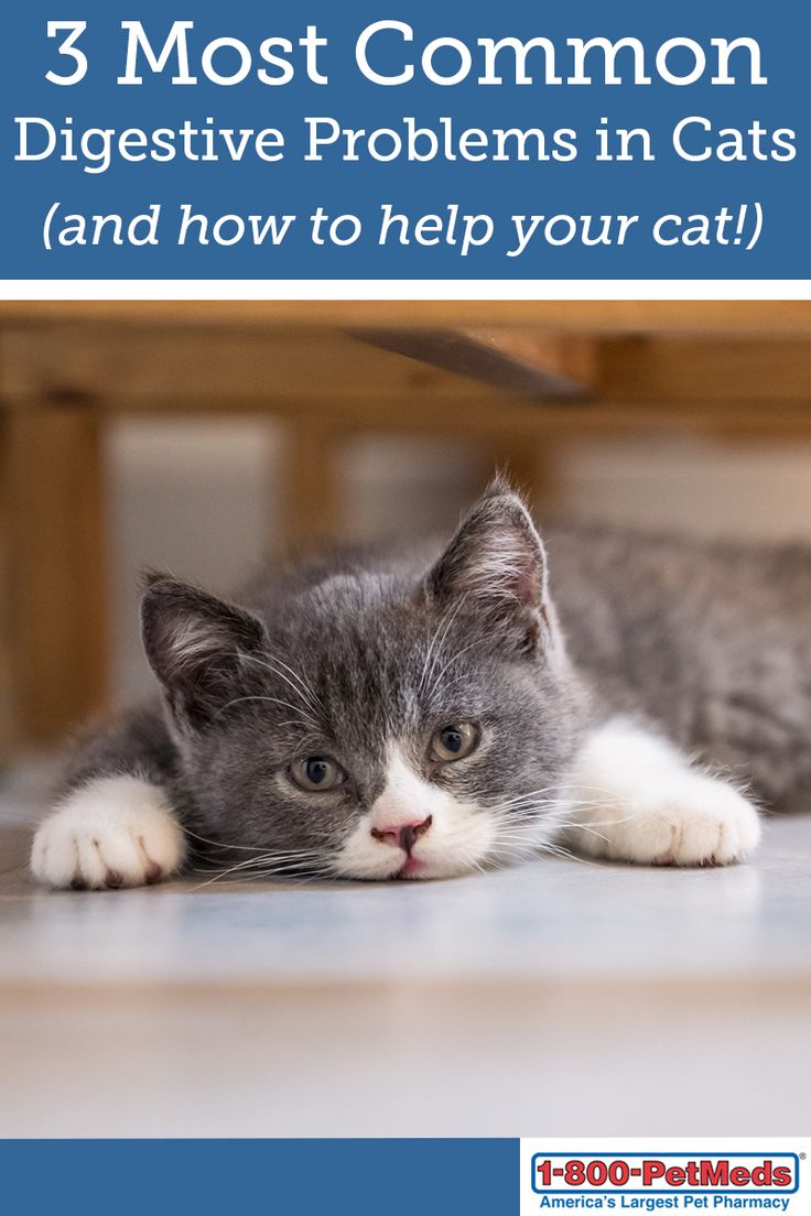 how to buy a munchkin cat
