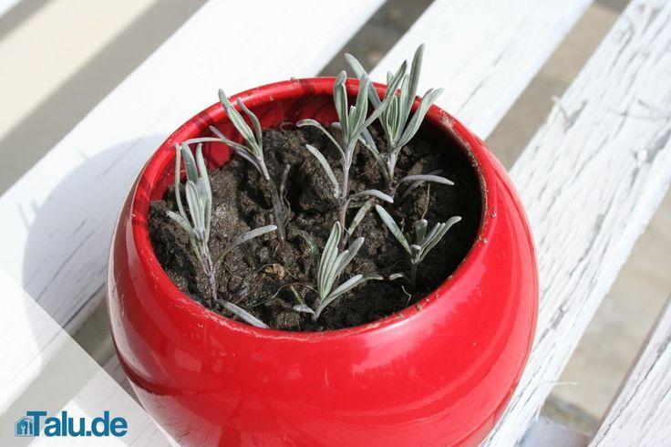 Lavendel vermehren ist oft die einzige Methode, um einen verholzten Lavendel zu retten. Im Artikel lernen Sie Teilung und Stecklingsvermehrung kennen.