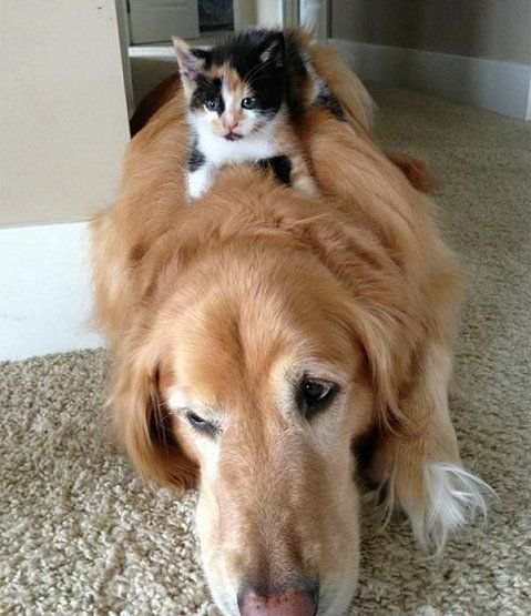 Do Calico Cats Get Along With Dogs