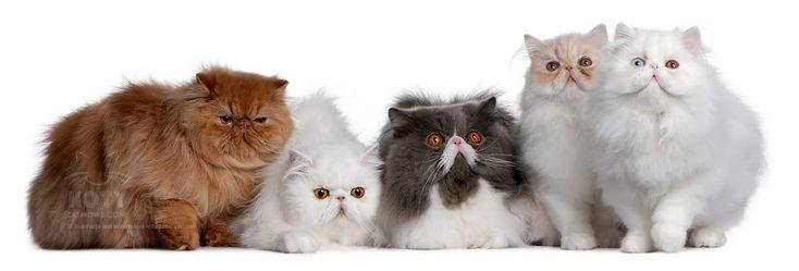 Kot Perski i Egzotyczny